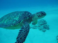 Hawaii scuba diving fish, green sea turtle