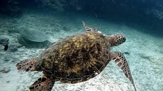 Sea Turtle Fishing Fish Green Sea Turtle